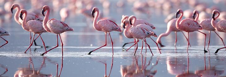 FlamingoKenya