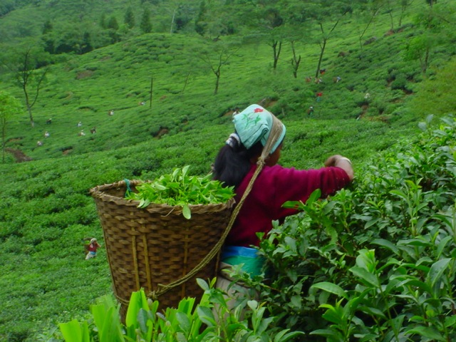 Tea picker at Jungpana Tea Estate Darjeeling India