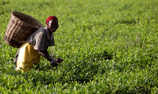 A woman picks tea at a plantation outside Kericho
